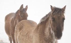 Les Poneys, la Mule