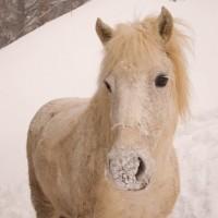 Poney de neige